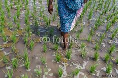 Inde. Rizières de Cuddalore, Tamil Nadu Fichier : #85251710 | Auteur : phb.me