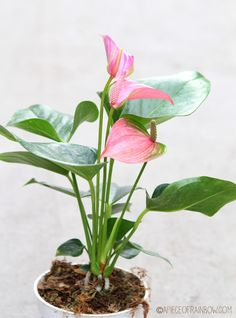 12 Easy Indoor Plants for Beauty + Clean Air - A Piece Of Rainbow Is it a leaf? Is it a flower? Most of us have seen this plant with super bright red flowers which almost look unreal. I prefer the pink or white flowered Anthurium, which looks softer.