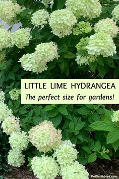 Little Lime Hydrangea is a perfect size for gardens, smaller than Limelight. Learn growing and pruning tips, companion plant ideas and see inspiring images in this complete guide. Rose Companion Plants, Hydrangea Landscaping, Plants, Front Landscaping, Shade Garden, Panicle Hydrangea, Pruning Hydrangeas, Garden Companion Planting, Little Lime Hydrangea