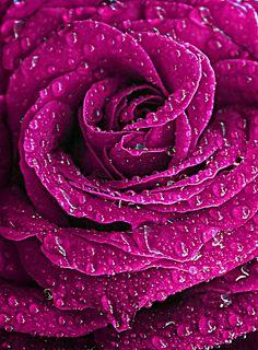 Beautiful Flowers Wallpapers, Beautiful Rose Flowers, Love Rose, Exotic Flowers, Amazing Flowers, Flower Iphone Wallpaper, Rose Wallpaper, Flower Backgrounds, Raindrops And Roses