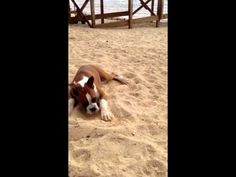 Boxer Dog First Reaction to Lime. This is so funny! You must watch this!