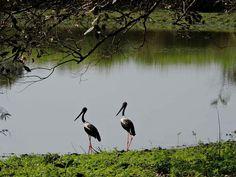 Black Neck Stork . Kaziranga National Park Assam.  Explore the beautiful birds with us.