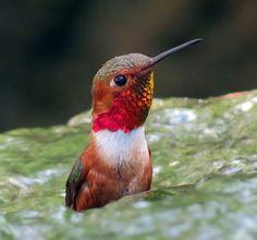 Hummingbird in waterfall Cute Birds, Small Birds, Little Birds, Pretty Birds, Duck Bird, Owl Bird, Hummingbird Pictures, Hummingbird Moth, Tiny Bird