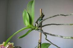 Így szaporíthatod az orchideát tőosztással és sarjról! - Tudasfaja.com