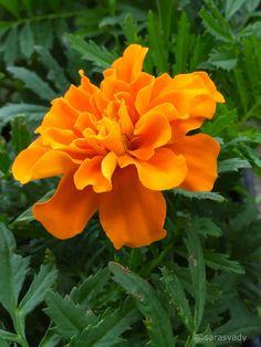 Beautiful Flowers Pictures, Flower Pictures, Pretty Flowers, Peony Illustration, Kangaroo Paw, Heuchera, Botanical Flowers, Colorful Garden, Calendula
