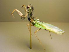 Mantidae: Tenodera Supertitiosa