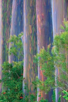 Rainbow Eucalyptus Tree, Fantastic Art, Amazing, Weird Trees, Magical Tree, Unique Trees, Tree Forest, Photo Tree, Still Life