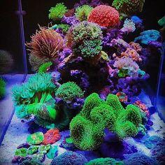 Saltwater Tank, Saltwater Aquarium, Aquarium Fish Tank, Planted Aquarium, Fish Tanks, Coral Reef Aquarium, Marine Aquarium, Mandarin Fish, Coral Tank