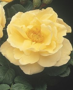 Topaz Jewel - Rugosa Rose  Available @ Bluemel's Garden Center 2015 www.bluemels.com