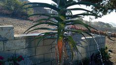 Water Fountain Garden Types, Garden Art, Desert Plants, Aloe Vera, Fountain, California, Water, Gripe Water, Water Fountains