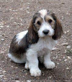petit basset griffon vendeen puppy - omg, he looks like an old man!