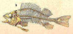 Fish skeleton / Esqueleto de peixe   Flickr - Photo Sharing!