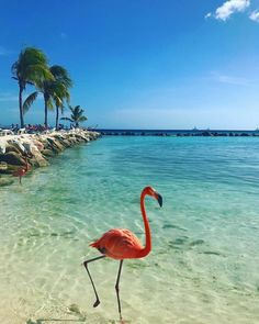 Sun, sea, the beach and. Beautiful Birds, Animals Beautiful, Beautiful Pictures, Flamingo Beach Aruba, Palm Beach, Animals And Pets, Cute Animals, Flamingo Pictures, Ocean Wallpaper