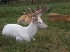 Cerf-de-virginie-albinos