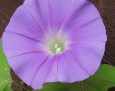 SALE Organic Morning Glory Seeds Japanese Ipomoea by brambleoak, $0.50