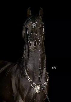 HS PiranesiSimeon Sadik x HS Pipistrella2002 ArabianStalliomn© Ewa Imielska Hebda Damn Love this Horse Too