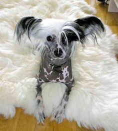 Chinese Crested Dogs- Love the look of this Chinese Crested dog!!!! I want one!!!