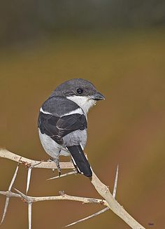 Fiscal Shrike - Lanius collaris; is widespread across sub-Saharan Africa. The Fiscal Shrike is usually solitary and hunts insects and small rodents from an exposed perch or the tops of shrubs. Photo...