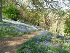 Winkworth Arboretum, The Bluebell Woods