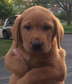 The many things we enjoy about the Intelligent Golden Retriever Dogs - Animals - Puppies Golden Retrievers, Red Golden Retriever Puppy, Fox Red Labrador Puppy, Red Lab Puppies, Rottweiler Puppies, Cute Puppies, Cute Dogs, Dogs And Puppies, Doggies