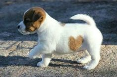 redwingjohnny: He's got a heart on his belly! via Baby Animals ♥ :) Beautiful ! Cute Puppies, Cute Dogs, Dogs And Puppies, Maltese Puppies, Animals And Pets, Baby Animals, Cute Animals, Fluffy Animals, Unique Animals