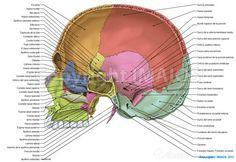 Cavidad craneal - Suturas del cráneo