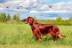 My favorite, the Irish Setter.