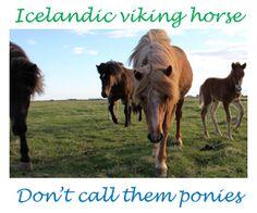 Icelandic Viking Horses
