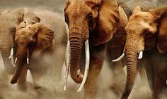 african elephants herd - Google Search