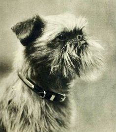 Brussels Griffon- Early 1900's  This little man looks like Angus's Great Great Grandpapa.