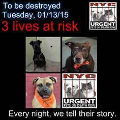 TO BE DESTROYED: 3 beautiful dogs to be euthanized by NYC ACC- . TUES 01/13/15. This is a VERY HIGH KILL shelter group. YOU may be the only hope for these pups! ****PLEASE SHARE EVERYWHERE!!To rescue a Death Row Dog, Please read this: http://urgentpetsondeathrow.org/must-read/ To view the full album, please click here: https://www.facebook.com/media/set/?set=a.611290788883804.1073741851.152876678058553&type=3
