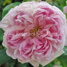 Petite de Hollande - Zartrosa - Rosa_centifolia - Historische_Rosen - Container - Rosen von Schultheis