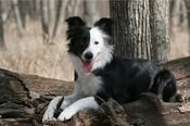 black/white split face border collie