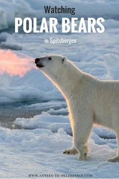 Polar bear watching in Spitsbergen, Svalbard. Everything you need to know to see the biggest carnivore on this planet. Are Polar bear tours worth it? Find out how to get the mos tout of your polar bear experience.