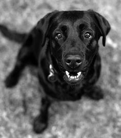 Easy - Labrador, age 5