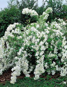 Pikkujasmike - Viherpeukalot Little Red Riding Hood - Green Thumbs Landscaping Plants, Garden Plants, Beautiful Gardens, Beautiful Flowers, Beauty Bush, Mock Orange, Moon Garden, White Gardens, Ornamental Grasses