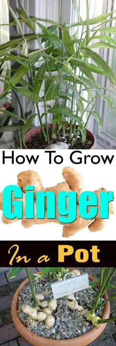 Growing ginger in a pot is easy! It's a great idea if you live in a cool temperate climate or you don't have a plenty of space. If you live in USDA Zone 9b and above or any other subtropical or ...