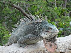 In Curacao worden ze gegeten, weggejaagd, maar voor ons blijft het een bezienswaardigheid en zijn we blij als we er 1 van dichtbij kunnen bewonderen. Meer weten over deze bestemming? http://to.kras.nl/pinterest_curacao