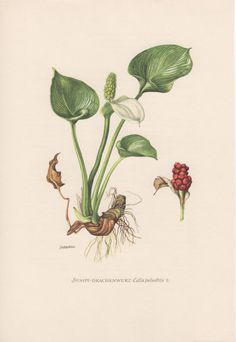 1954 Bog Arum Botanical Print, Vintage Lithograph, Flora Illustration, Calla palustris, Botany, Drachenwurz, Marsh Wild Calla, Water-arum