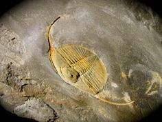 """eclecticirony:  Trilobite Image (CC BY-NC 4.0)Dionide mareki Ordovician Trilobite from PortugalTrilobites Order Phacopida, Suborder Calymenina, Family CalymenidaeGeological Time: OrdovicianSize: 2"""" in widthFossil Site: Valongo Formation, Covelo, PortugalI have one these in my humble fossil collection, but not nearly so nice as this. As a member of trilobite Suborder Calymenina, Dionide had holochroal eyes like the vast majority of trilobites."""