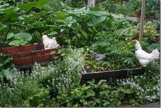 Free garden chicken | book:'Free-Range Chicken Gardens: How to Create a Beautiful, Chicken ...