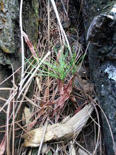 Pine .....again