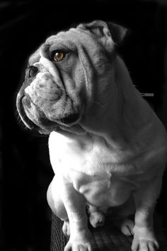 Artist Stephen Kline has collected a variety of dog and people images. Please visit his gallery at drawDOGS.com where you'll find over 110 breeds of dogs drawn from just words including the English Bulldog.