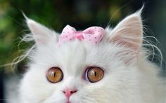 white cat and pink bow