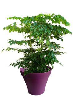Radermachera avec cache pot violet