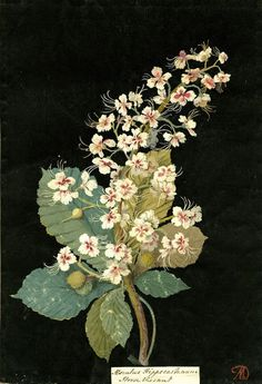 Mary Delany, Aeschelus Hippocastanum (Heptandria Monogynia), Horse Chestnut. 1776