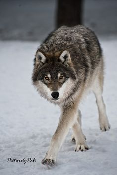 ☀The Stealthy wolf by *PictureByPali