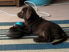 #adopt #lab #chocolate #labrador #puppy #foster http://www.lsawl.org/best-friends-for-adoption/lola