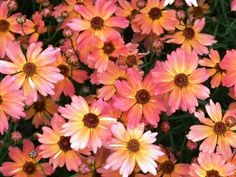 -Coreopsis Limerock Dream-LOVED this plant...but all mine died last year. Blooms all summer through fall.