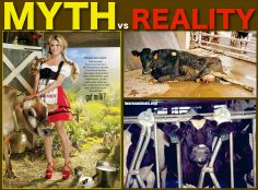 Cows are exploited just as much for their milk. If you are drinking cow's milk, a calf isn't.